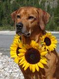 Un chien, ridgeback rhodesian avec des tournesols Image libre de droits