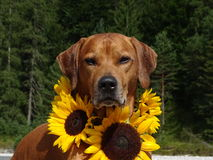 Un chien, ridgeback rhodesian avec des tournesols Photos stock