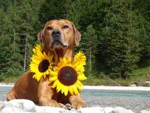 Un chien, ridgeback rhodesian avec des tournesols Photo stock