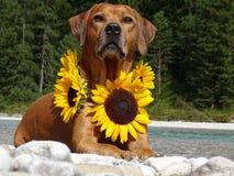 Un chien, ridgeback rhodesian avec des tournesols Images libres de droits