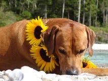 Un chien, ridgeback rhodesian avec des tournesols Photo libre de droits