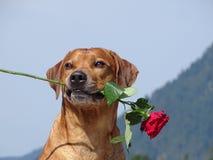 Un chien, ridgeback rhodesian avec la rose de rouge photos stock