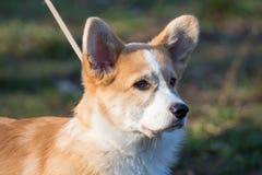 Un chien rusé court sur la photo de promenade Images libres de droits