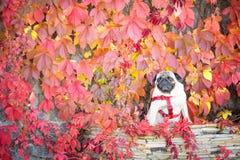 Un chien sérieux de roquet se repose sur une tuile en pierre sur un fond des raisins sauvages lumineux d'automne photo stock