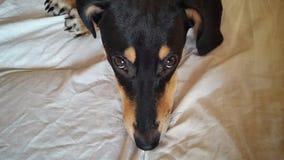Un chien se trouve avec les yeux tristes Photographie stock libre de droits