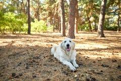 Un chien se trouve sur son estomac un jour ensoleillé en parc Photos libres de droits