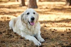 Un chien se trouve sur son estomac un jour ensoleillé en parc Photo libre de droits