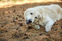 Un chien se trouve sur son estomac un jour ensoleillé en parc Image stock