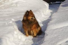 Un chien sur la rue en hiver Verticale d'un beau crabot Images libres de droits