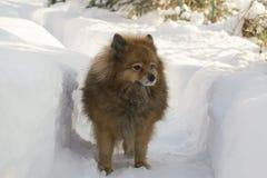 Un chien sur la rue en hiver Verticale d'un beau crabot Photographie stock