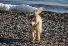 Un chien sur le bord de la mer Image libre de droits