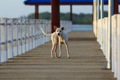 Un chien sur le pont Photos libres de droits