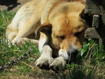 Un chien sur une tristesse à chaînes photo libre de droits