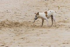 Un chien tenant un bâton Images libres de droits