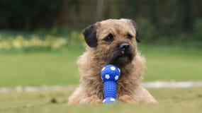 Un chien terrier de cadre effronté photographie stock libre de droits