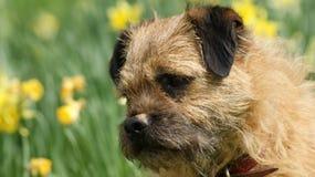 Un chien terrier de cadre effronté Image libre de droits