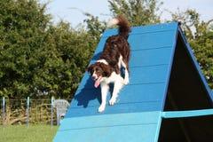 Un chien très mignon de colley de croix de sauteur sur l'équipement d'agilité Photographie stock