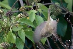 Un Chiffchaff o Chiffchaff común, collybita del Phylloscopus, curruca Reino Unido Fotos de archivo libres de regalías