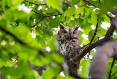 Un Chillido-búho del este que guarda sus mochuelos en un árbol de arce foto de archivo libre de regalías