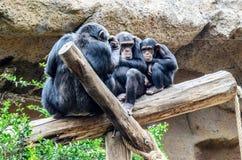 Un chimpanzé au zoo en parc de Loro, Puerto de la Cruz images libres de droits