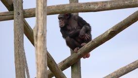 Un chimpanzé commun clips vidéos