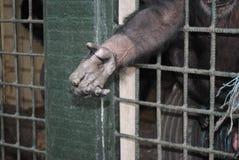 UN CHIMPANZÉ maltraité Images libres de droits