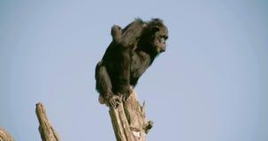 Un chimpanzé noir sur une tige FS700 4K banque de vidéos