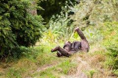 Un chimpanzé se repose dans le pré Image stock