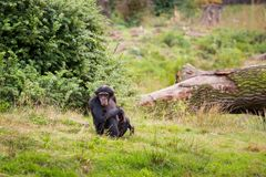 Un chimpanzé se repose dans le pré Photos libres de droits