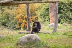 Un chimpanzé se repose dans le pré Photographie stock