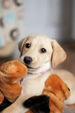Un chiot d'or mignon de Labrador photo stock