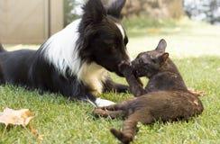 Un chiot de border collie joue heureux avec un chat Images libres de droits