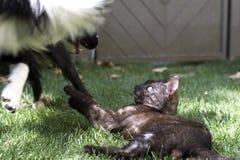 Un chiot de border collie joue heureux avec un chat Image libre de droits