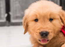 Un chiot de golden retriever de mois Photographie stock