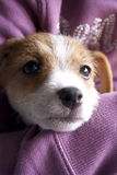 Un chiot de Jack Russel Photo libre de droits