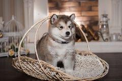 Un chiot de malamute tenant le panier en osier Image stock