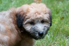 Un chiot de Wheaton Terrier image libre de droits