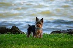 Un chiot de Yorkie au bord des eaux photographie stock libre de droits