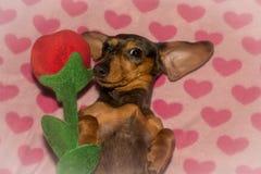 Un chiot mignon de teckel le jour du ` s de Valentine Photographie stock libre de droits
