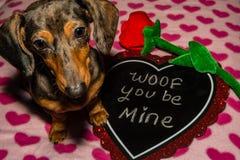 Un chiot mignon de teckel le jour du ` s de Valentine Photographie stock
