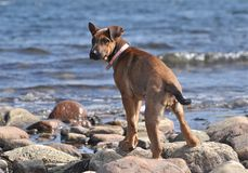 Un chiot par la plage Photo stock