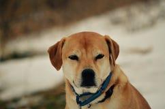 Un chiot parfait en hiver dans New Hampshire Photographie stock