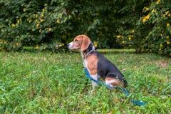 Un chiot r?fl?chi de briquet avec une laisse bleue sur une promenade en parc de ville Portrait d'un chiot gentil photo stock