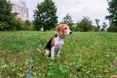 Un chiot r?fl?chi de briquet avec une laisse bleue sur une promenade en parc de ville Portrait d'un chiot gentil image libre de droits