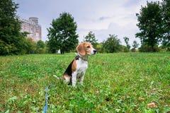 Un chiot r?fl?chi de briquet avec une laisse bleue sur une promenade en parc de ville Portrait d'un chiot gentil images libres de droits