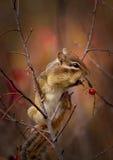 Un chipmunk sta mangiando le bacche Immagine Stock