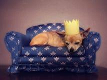 Un chiwawa mignon avec une couronne sur faire une sieste sur un divan photos libres de droits