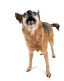 Un chiwawa mignon haletant avec sa langue à l'extérieur Photographie stock libre de droits
