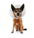 Un chiwawa s'usant un cône de la honte d'un vétérinaire Photo libre de droits