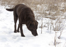 Chocolat labrador retriever Photo stock